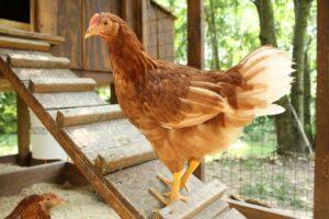 DIY kippenhok maken doe je zelf