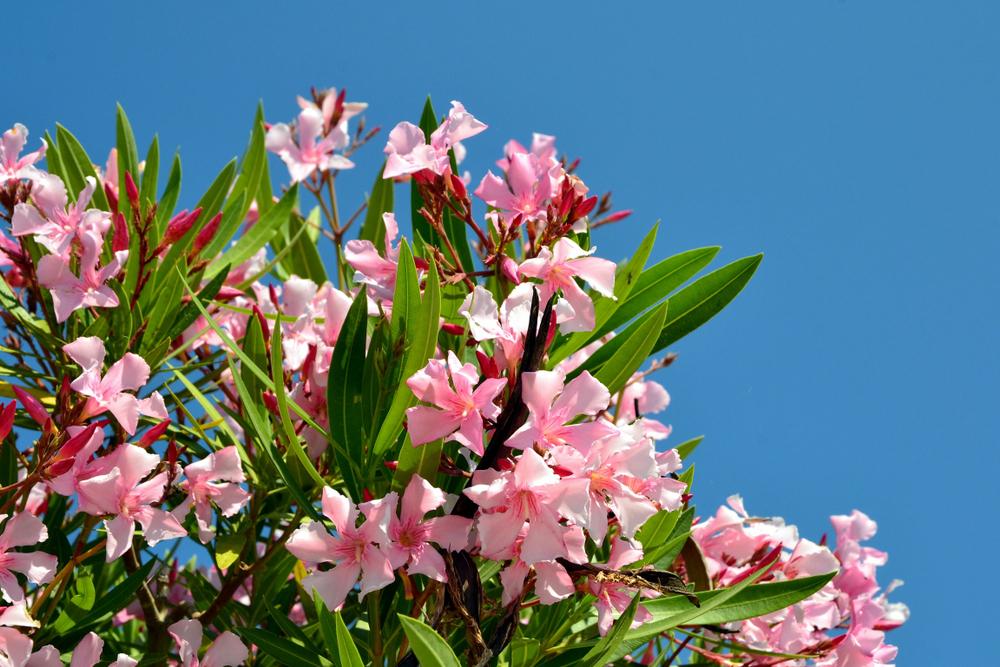 De oleander is een giftige plant