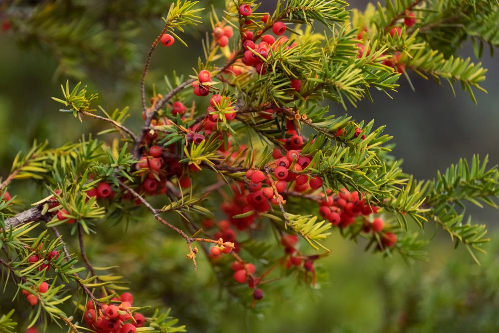 De Taxus is een van de giftige planten die je in Nederland veel tegenkomt
