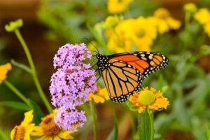 Vlinders in je tuin met deze planten