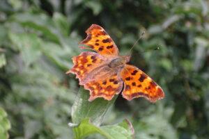 Vlinders in je tuin; de gehakkelde aurelia