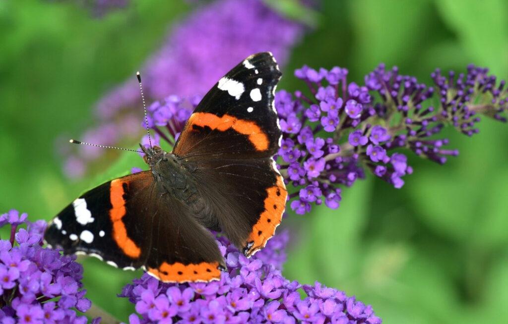 Vlinder in de tuin; atalanta