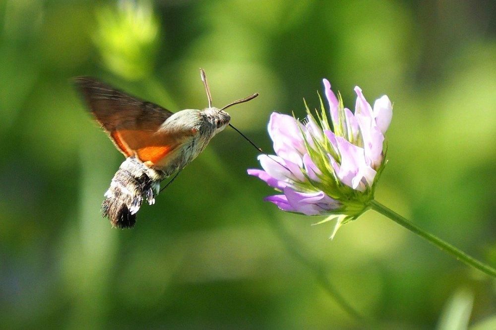 Vlinder in de tuin; kolibrivlinder