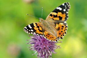 Vlinders in de tuin; de 10 meest voorkomende