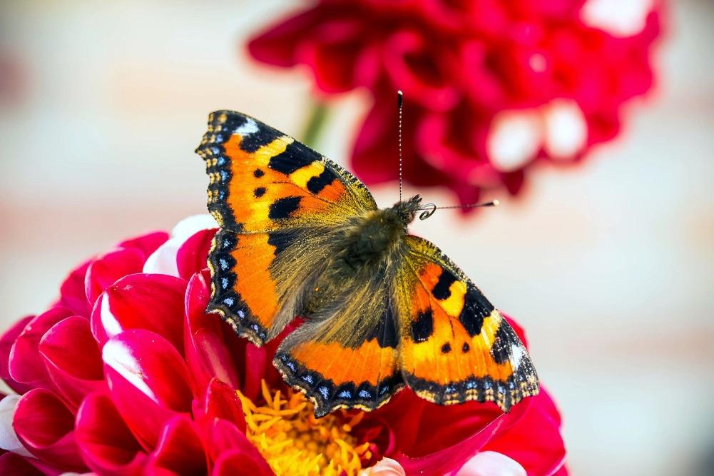 Vlinders in de tuin; kleine vos