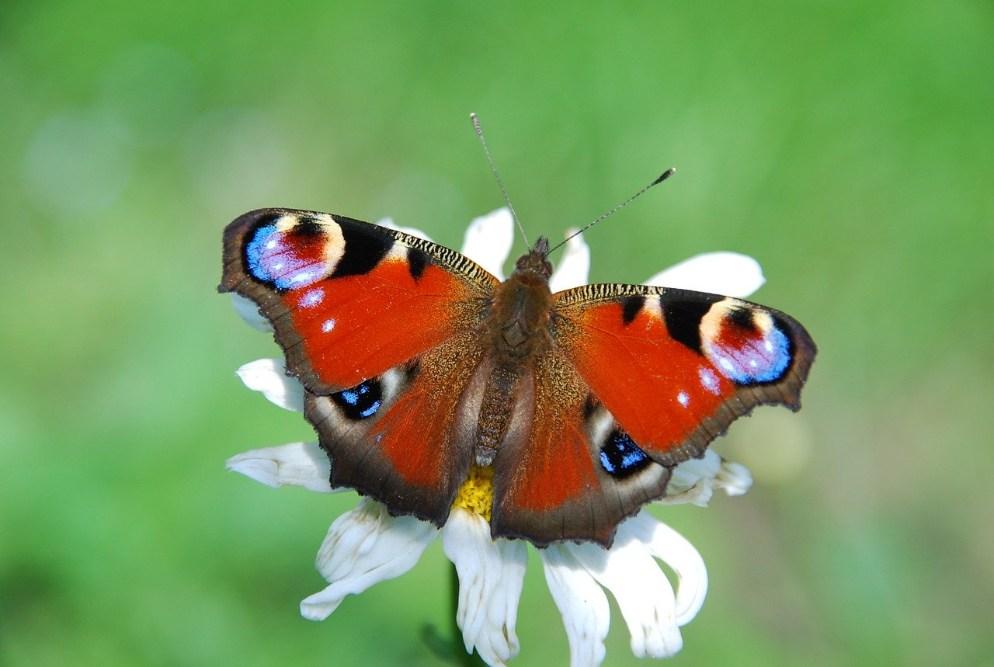 Vlinders in de tuin; de dagpauwoog