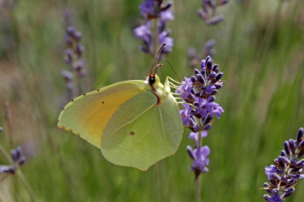 Vlinders in de tuin; de citroenvlinder