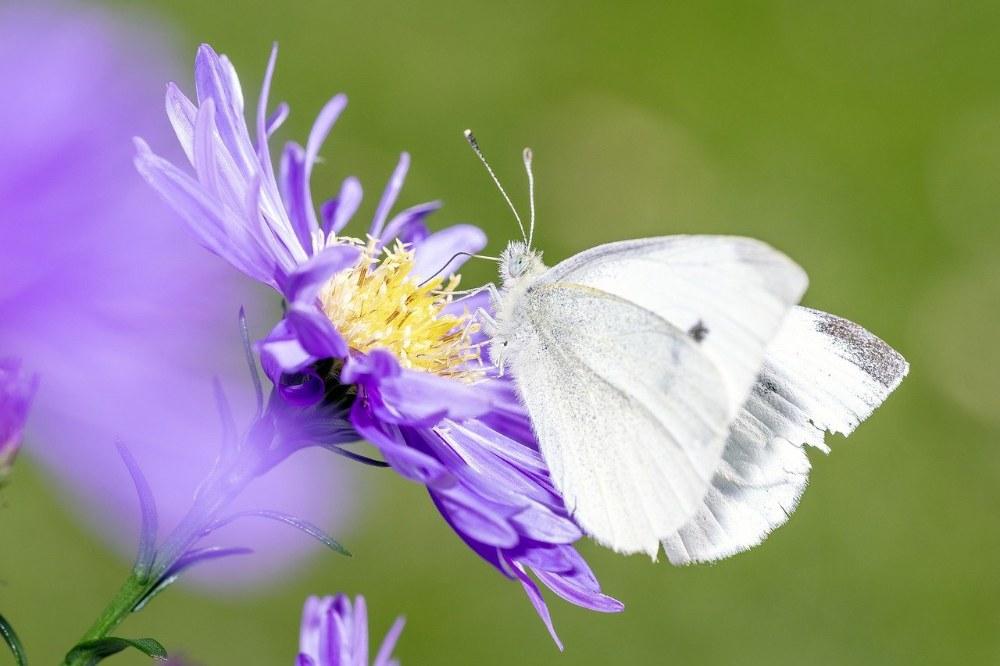 Vlinders in de tuin; klein koolwitje